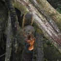 Poás squirrel
