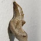 Gulf Fritillary pupa