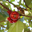 Makopa / Syzygium malaccense