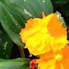 Grapefruit flower