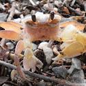 Land crab