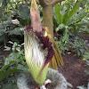 Titan Arum (corpse flower)