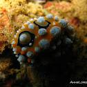Pancake nudibranch