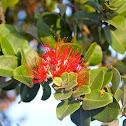 ʻōhiʻa lehua