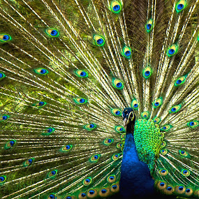PEACOCK by Brothers Photography - Animals Birds (  )