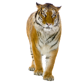 Tiger Sticker widget