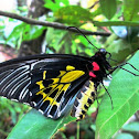 Sahyadri Birdwing or Southern Birdwing female