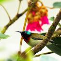 Fork-tailed Sunbird (叉尾太陽鳥)