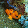 Warty Frogfish (orange)