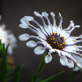 african daisy by Mario J - Flowers Flowers in the Wild ( daisy, flowers )