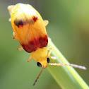 Red-shouldered Leaf Beetle