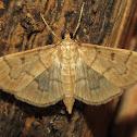 Herpetogramma Moth