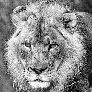 2015-02-13 -lion bw-1.jpg