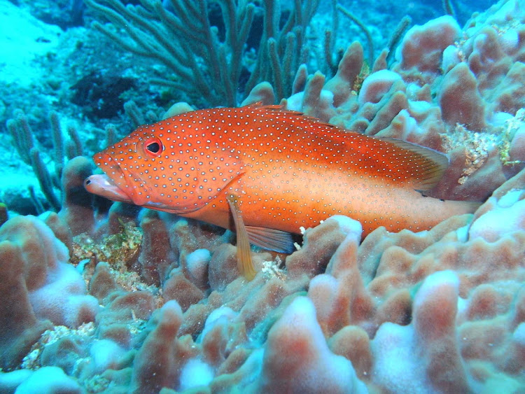 A bashful orange fish peeks out of a reef off the coast of Cozumel.