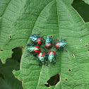 Florida Predatory Stinkbug Nymphs