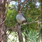 Tickell's Flowerpecker or Pale-billed Flowerpecker