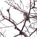 American Robin- female