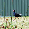 Purple-breasted Swamphen