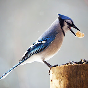 Sunlit Blue Jay by Becky Kempf - Animals Birds ( bird, perched, peanut, blue, backlight, diagonal, blue jay, sunlit,  )