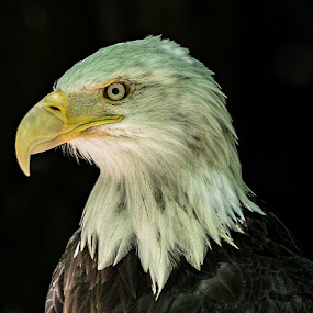 Bald Eagle by Brent Morris - Animals Birds (  )