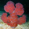 Mauve Spiky Soft Coral