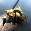 Small hermit crab. Brujita de arena