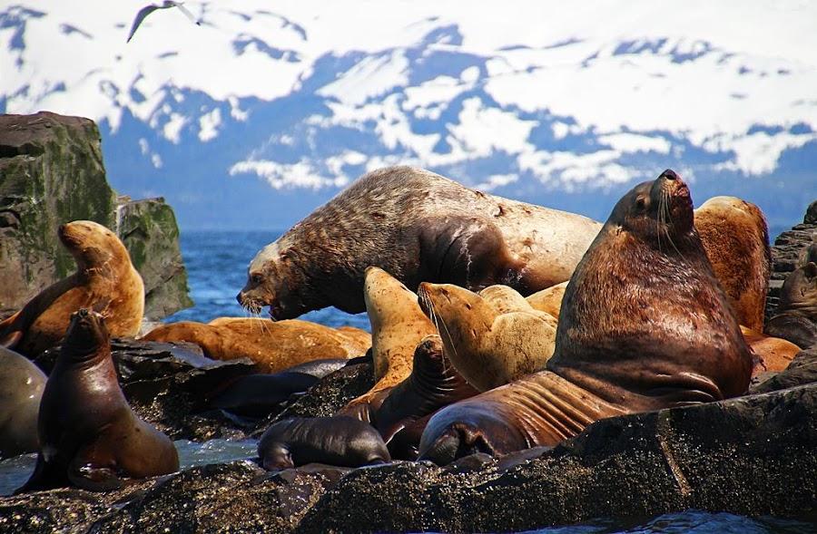 Prince William Sound Sea Lions by Frank Keller - Animals Other Mammals ( sea lions, alaska, wildlife, whittier, beauty, prince william sound )