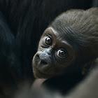 Lowland gorila