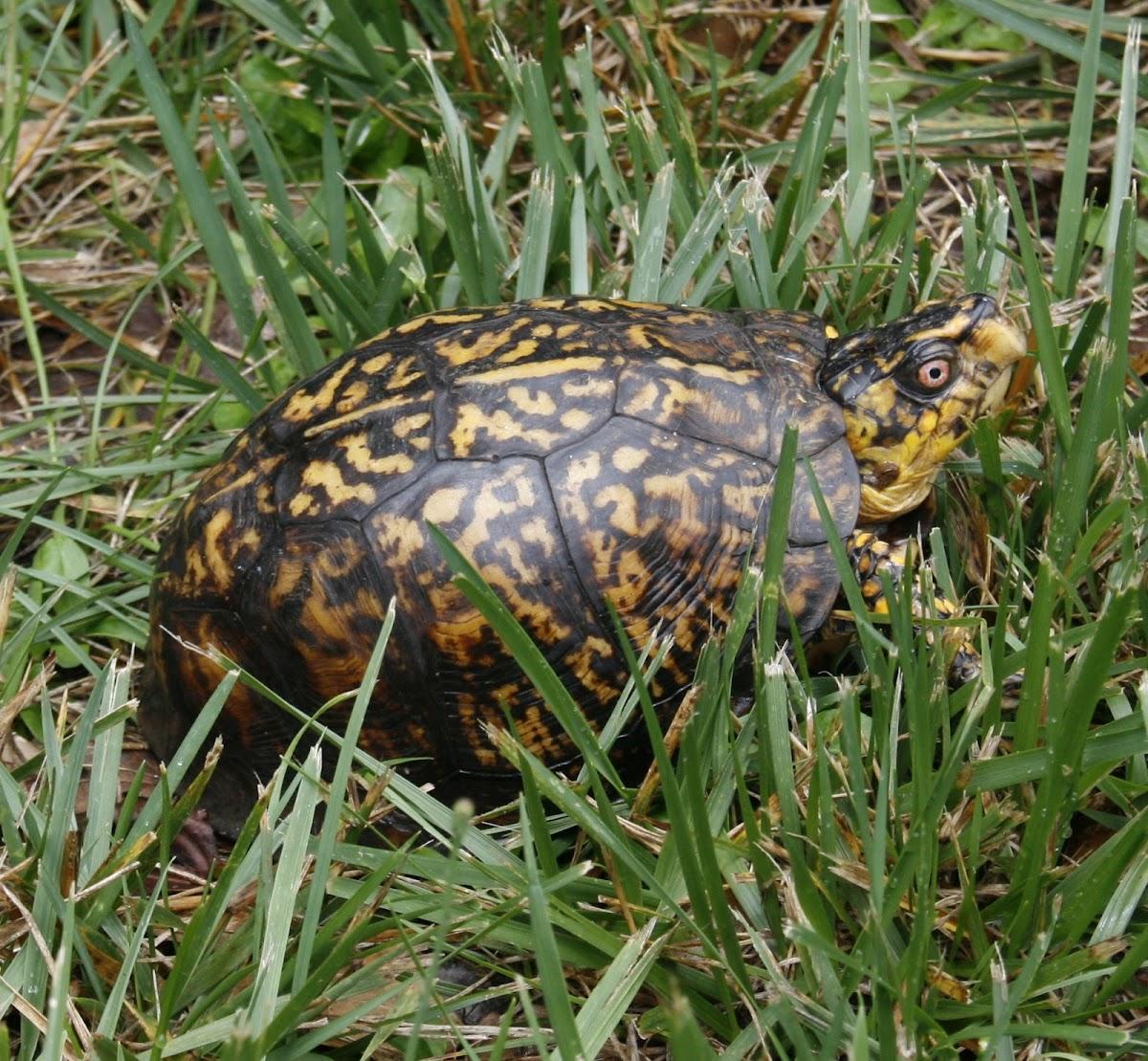 Eastern Box Turtle, male
