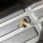 Hairy bee