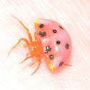 Ladybird Mimic Spider