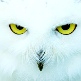 Look into my eyes by Tony Walker - Animals Birds ( face, beak, captive, snowy, yellow, olw, eyes,  )