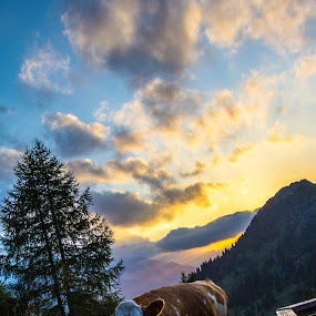 Cow in the Alps by Joachim Unger - Animals Other Mammals ( mountains, bavaria, sunset, cow, hütte, bayern, germany, alm, alps )