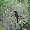 Racket tailed drongo