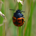 Swamp Milkweed Leaf Beetle