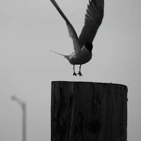 Gull Landing Strip by Tanya Washburn - Animals Birds ( bird, gull, monochrome, post, landing,  )