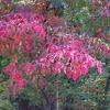 Red Fall Leaves in Holly springs, Ga
