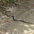 Serpiente de Leche Negra - Black Milk Snake