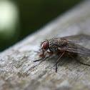 Fly (Dipteran)