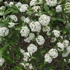 Burkwood's viburnum