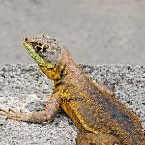 Lagarto by Brianna Oliva - Animals Reptiles ( reptiles, répteis, rétil, lagarto )