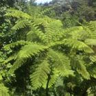 Caribbean Tree fern or Giant tree fern_Helecho gigante