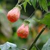 Abutilon or Chinese Lanten (Malvaceae)