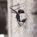 Camponotus angusticollis