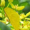 Lemon Emigrant or Common Emigrant
