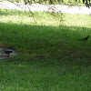 Spotless Starling. Estornino negro