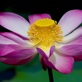 Lotus flower by Zam Foto - Flowers Single Flower ( water plant, lotus, budhism, tropical, zen, pink, bloom, flower )