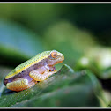 Winged Gliding Frog