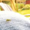 Pale green weevil