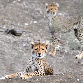 Cheetah cub by Arun Prasanna - Animals Lions, Tigers & Big Cats ( #cheetah #africa #cub #cute )